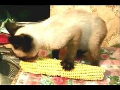 Cat Eats Corn YUM YUM YUM - I had a cat that would eat corn-on-the-cob, but ONLY if it was fresh!