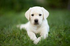 Cómo cuidar de un perro labrador - 9 pasos - unComo