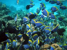 Surgeonfish are among the most common of coral reef herbivores, often feeding in shoals. This may be a mechanism for overwhelming the highly aggressive ...
