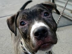 GONE RIP  9/9/13 Brooklyn Canter  CHAZ - A0977119  MALE, BR BRINDLE / WHITE, PIT BULL MIX, 10 mos