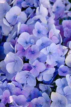 Hortensia Stockphotos