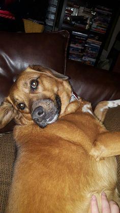 Sophie, Beagle. German Shepherd Mix - Ohio