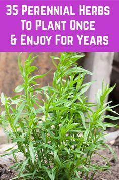 35 Perennial Herbs To Plant Once & Enjoy For Years Diy Herb Garden, Home Vegetable Garden, Edible Garden, Garden Plants, Herb Plants, Indoor Herbs, Garden Ideas, Growing Herbs, Growing Vegetables