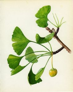 Vintage Tree Print, Maidenhair or Ginkgo, Living Fossil, Botanical, Nat History Book Plate, Framing, 1969, Choc