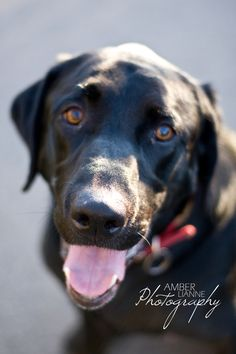 Black Labrador Retriever by Amber Lianne Photography. This looks like Jager!