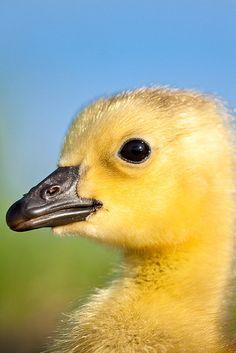 Canadian goose gosling. ©Jerry Mercier