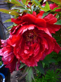 nothing short of magnificent - beautiful flower of tree peony