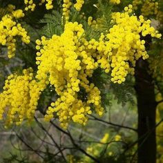 The search of the terms mimosa has generated 22 results in the photo collection. Description:The tree of mimosa featuring branch yellow flowers. The botanical family of mimosa is fabaceae trees.