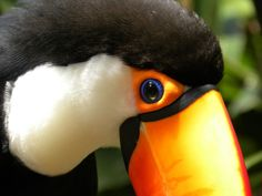 Toco Toucan. Image by Carla Howe. #beautifulworld http://www.lonelyplanet.com/photocomp?lpaffil=soc_pi_p_o_bw