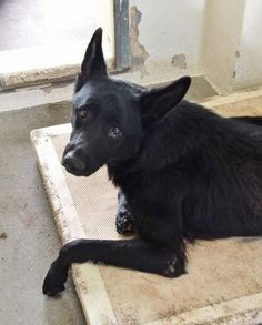 #A4754110 My name is Perris and I'm an approximately 5 year old female germ shepherd. I am already spayed. I have been at the Carson Animal Care Center since September 8, 2014. I will be available on September 12, 2014. You can visit me at my temporary home at C112. Carson Shelter, Gardena, California. https://www.facebook.com/171850219654287/photos/pb.171850219654287.-2207520000.1410370690./305297179642923/?type=3&theater