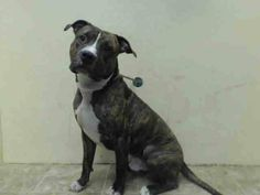 Brooklyn Center BETTER - A1013527 MALE, BR BRINDLE / WHITE, PIT BULL MIX, 3 yrs STRAY - STRAY WAIT, NO HOLD Reason ABANDON Intake condition EXAM REQ Intake Date 09/09/2014, From NY 11208, DueOut Date 09/12/2014 https://www.facebook.com/Urgentdeathrowdogs/photos/pb.152876678058553.-2207520000.1410563464./868450649834482/?type=3&theater