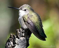 Hummingbird;)