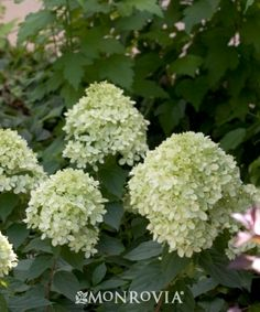 Monrovia's Little Lime® Hardy Hydrangea details and information. Learn more about Monrovia plants and best practices for best possible plant performance.