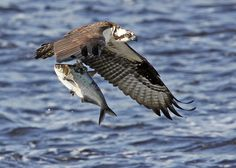Osprey and catch of the day  Maurice River, NJ