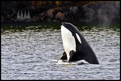 Orca Spyhop -- great bear rainforest, british columbia. Help us protect them: www.savebiogems.o...