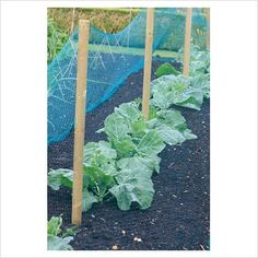 Garden & Plant Picture Library - Using thick netting to protect brassicas from butterflies - GAP Photos - Specialising in horticultural photography