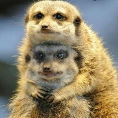 Two meerkats (suricata suricatta) snuggle up funny animals, baby animals, animals and Cute Baby Animals, Animals And Pets, Funny Animals, Cute Animal Videos, Cute Animal Pictures, Beautiful Creatures, Animals Beautiful, Beautiful Nature Pictures, Tier Fotos