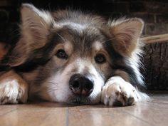 A mix of three breeds: Alaskan Malamute, German Shepherd, and Siberian… Utonagan. A mix of three breeds: Alaskan Malamute, German Shepherd, and Siberian Husky. Baby Dogs, Pet Dogs, Dogs And Puppies, Dog Cat, Doggies, Alaskan Husky, Alaskan Malamute, Beautiful Dog Breeds, Animals Beautiful