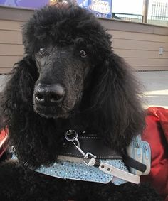 Meet Fancy Pants From Trained And Maintained Service Dogs Inc Standard Poodles Therapy