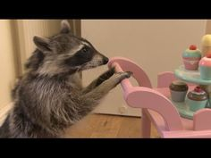 Melanie Raccoon   What's For Breakfast [Animal Acting] They are so smart I once found our Rocky fast asleep in the bottom of our Fridge he could open the Fridge from outside