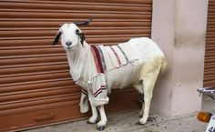 Photo Essay: Goats in Sweaters - http://modernfarmer.com/2013/11/goats-sweaters/?utm_source=PN&utm_medium=Pinterest&utm_campaign=SNAP%2Bfrom%2BModern+Farmer
