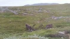 Reinsdyr på Slettnes