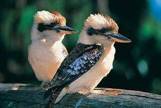 Kookaburras are terrestrial tree kingfishers of the genus Dacelo native to Australia and New Guinea. The name is a loanword from Wiradjuri guuguubarra, onomatopoeic of its call. Kinds Of Birds, All Birds, Love Birds, Beautiful Birds, Animals Beautiful, Cute Animals, Pretty Birds, Wild Animals, Australian Birds