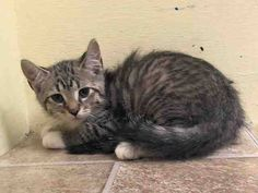 NYC BEST BEHAVIOR RATING for this cutie!!! TO BE DESTROYED Sunday., Aug.17, 2014 APPLEJACK. Adopted from the ACC, got a cold and so they bought him back again to this germ-filled pit? Great. ID # A1008031. Neutered male brn tabby and white about 14 WEEKS old. https://www.facebook.com/nycurgentcats/photos/a.845866555431333.1073742401.220724831278845/845866642097991/?type=3&theater