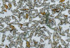 Te explicamos por qué las mariposas monarcas están sobre la nieve en esta imagen de World Press Photo Fue tomada en Michoacán y muestra los efectos del cambio climático en esta especie migrante  | Verne México EL PAÍS