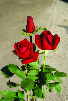 Belle Rouge | Ludwigs Roses | Velvet-red, large, urn shaped buds open into a round petalled bloom. Moderate thorns;stem length 40-60cm. Also available as a garden rose. View info.