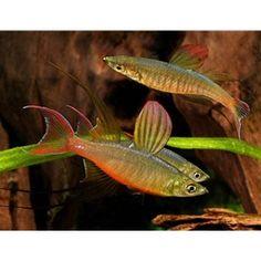 Featherfin Rainbowfish  Iriatherina werneri $4.59