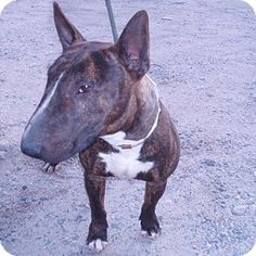 Los Angeles, CA - Bull Terrier. Meet Roy a Dog for Adoption.