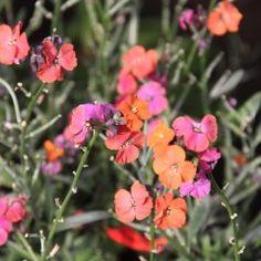 Erysimum 'Red Jep' - Muurbloem, steenraket