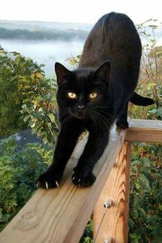 - Cats - Want more black cat photos? Want more black cat photos? I Love Cats, Crazy Cats, Cool Cats, Pretty Cats, Beautiful Cats, Pretty Kitty, Cute Kittens, Cats And Kittens, Kittens Playing
