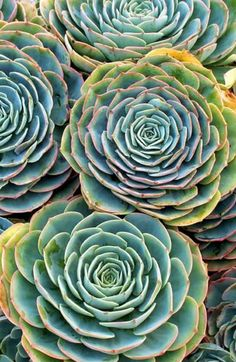 Gorgeous blue rose echeveria