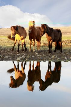 Seeing their reflection in the water ~ photo by Jon Hilmarsson