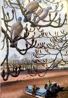 """Wood-pigeons on branches. (from vintage English """"Ladybird"""" storybooks) British Wildlife, Wildlife Art, Children's Book Illustration, Book Illustrations, Landscape Paintings, Watercolor Paintings, Wood Pigeon, Country Art, Country Life"""