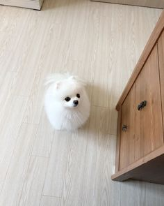 Cute Little Dogs, Cute Little Animals, Cute Dogs, Cute Babies, White Husky Puppy, Pomeranian Puppy, Cute Puppies Images, Puppy Images, Samoyed Dogs
