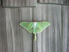 Luna Moth (Actias luna) [Photo taken by J.Lewis in north-central WV with a 6 MP digital camera.]