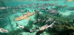 Shark Rajaampat
