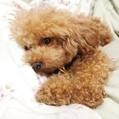 """Discover more relevant information on """"poodle puppies"""". Baby Puppies, Cute Puppies, Cute Dogs, Dogs And Puppies, Poodle Puppies, Poodle Puppy Miniature, Doggies, Red Poodles, Poodle Cuts"""