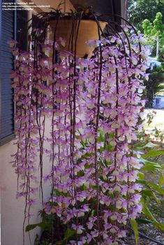 Dendrobium Orchids - A string of living butterflies!!!Flowers have spoken to me more than I can tell in written words. They are the hieroglyphics of angels, loved by all men for the beauty of their character, though few can decipher even fragments of their meaning. - Gardening For You