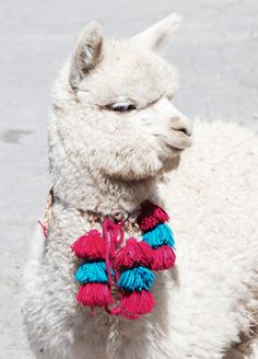 Alpaca with pom-poms, two things we love! Alpaca Funny, Cute Alpaca, Funny Llama, Alpacas, Llamas Animal, Animals And Pets, Baby Animals, Llama Pictures, Llama Arts