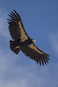 California Condor Takes Flight