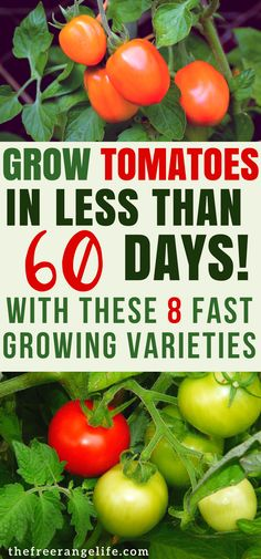 Grow tomatoes in your garden in no time with these 8 fast-growing early tomato varieties. Gardening Tips | Growing Tomatoes | Vegetable Gardening for Beginners