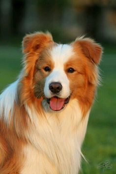 Border Collie| Tan and White