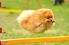 Hurdling Pomeranian