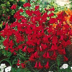 Red Penstemon-truly awesome color and the butterflies and humminbirds love it