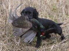Working Cocker Spaniel  - My husband  loved it when our cocker spaniel hunted…