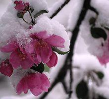 Snow Covered Apple Blossoms by Diane Blastorah